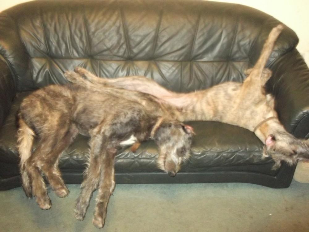 Deerhound Lurcher | scottishdeerhounds